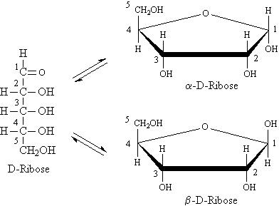 l aldopentose  Cyclized Pentose Sugar